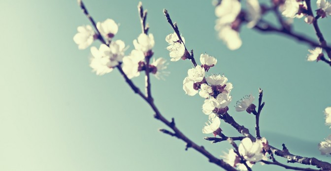 Look at these cherry blossoms